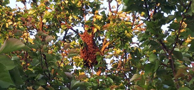 22) 6.6.2021 – 19:45 – Střelice – Likvidace včelího roje